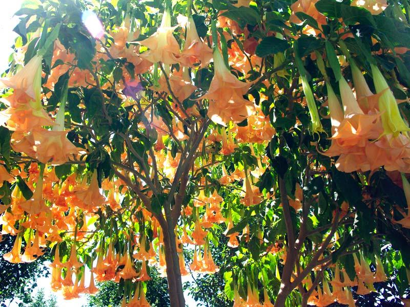 Brugmansia versicolor - looking upwards
