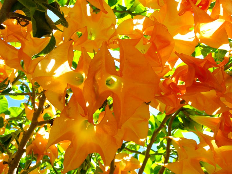 Brugmansia versicolor - Absolutely spectacular
