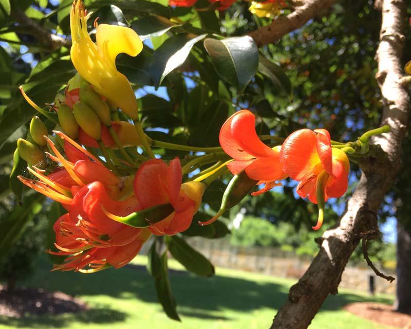 Castanospermum australe - Black Bean Tree - seed pods starting to form within the orange flowers