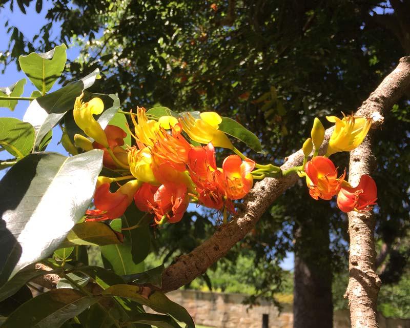 Castanospermum australe - the Black Bean Tree flowers in December flowers orange and yellow