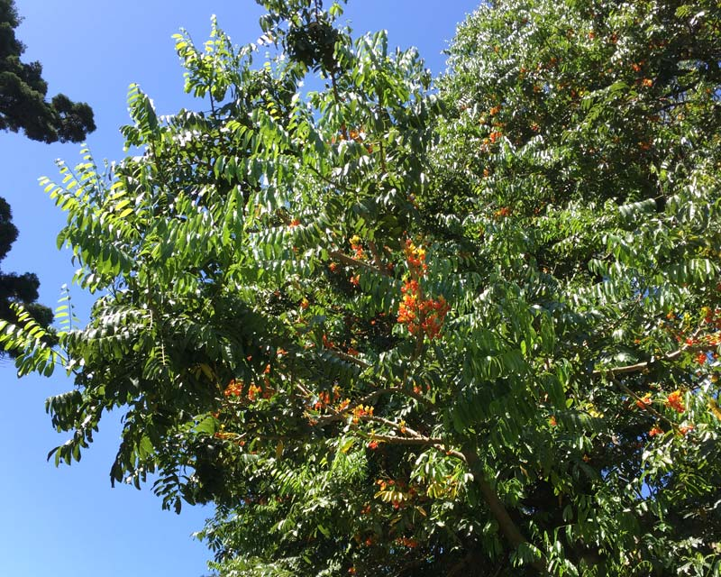 Castanospermum australe - In December the branches are covered with orange and yellow flowers