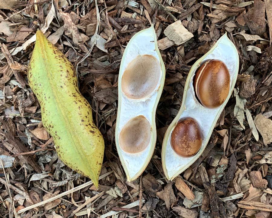 Moreton Bay Chestnut, Castanospermum australe - Large seed pods