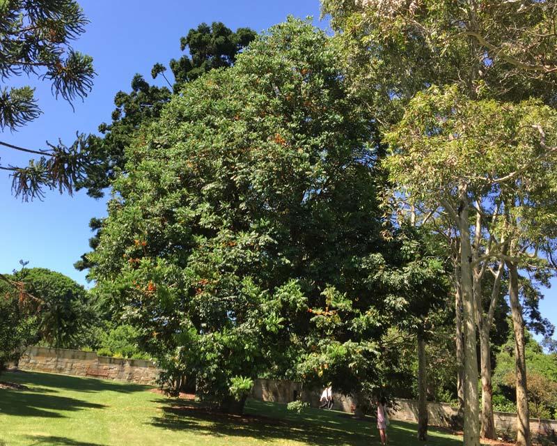 Castanospermum australe - Black Bean or Morton Bay Chestnut - this huge tree can be seen in Sydney Botanic Gardens