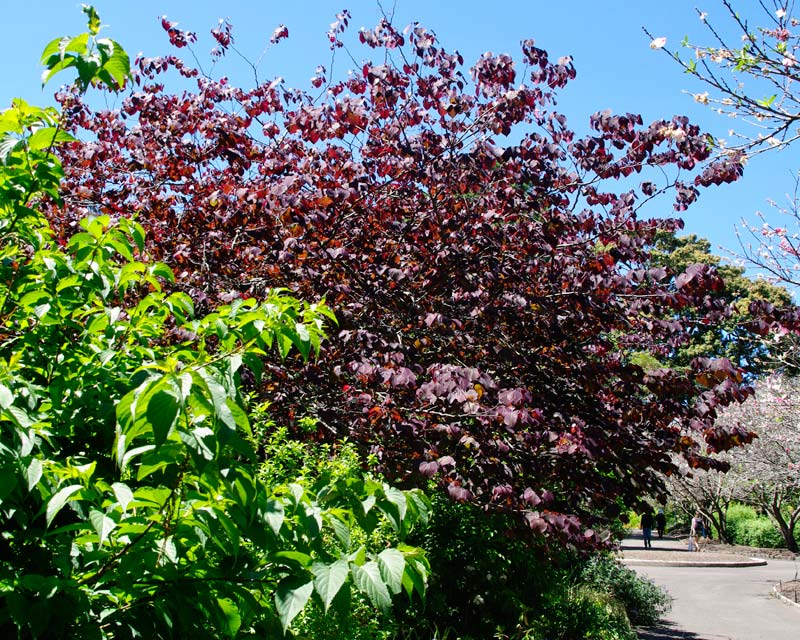 Cercis canadensis, Forest Pansy - Sydney Botanic Gardens