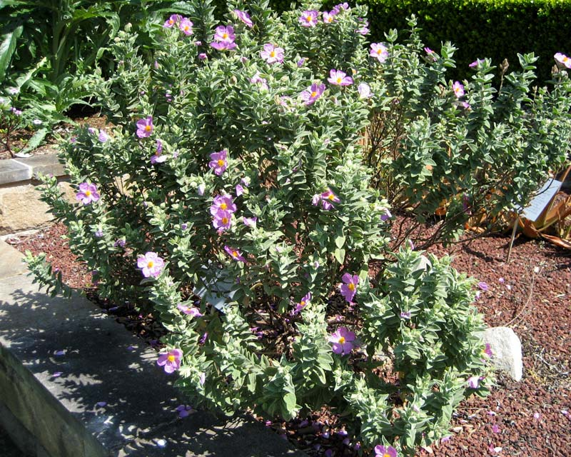 Cistus albidus - bushy shrub with pink to lilac flowers