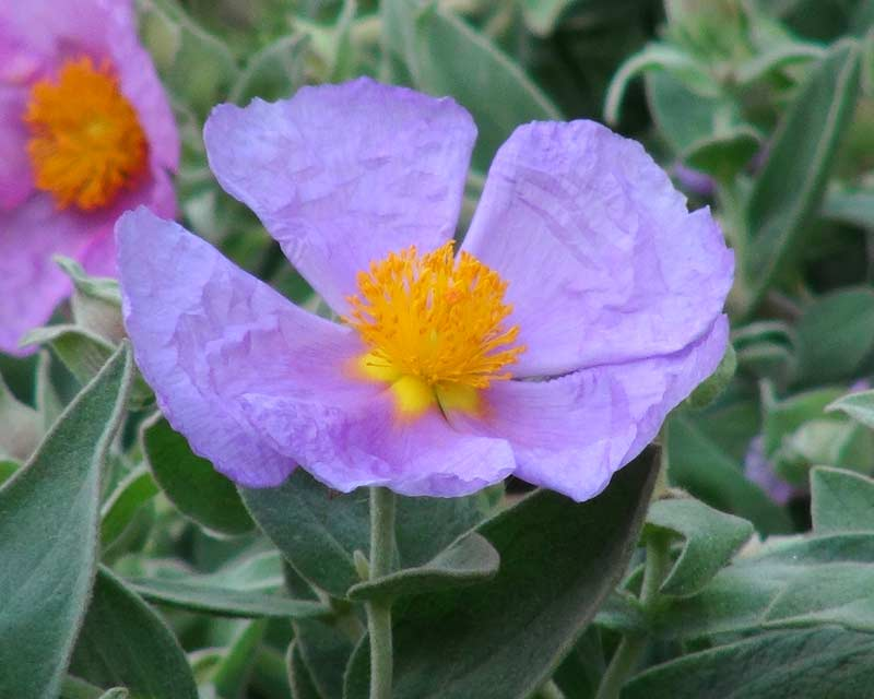 Cistus albidus, Rock Rose