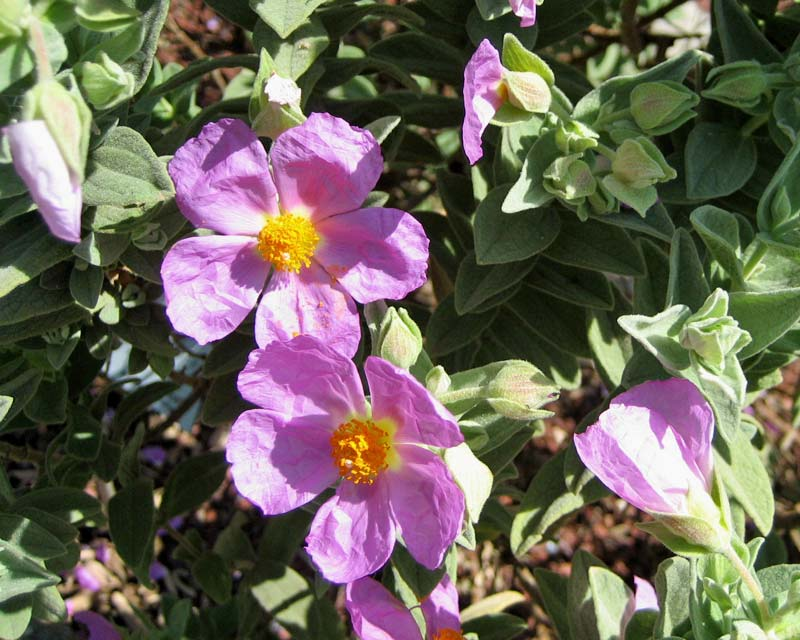 Cistus albidus bushy shrub with pink to lilac flowers