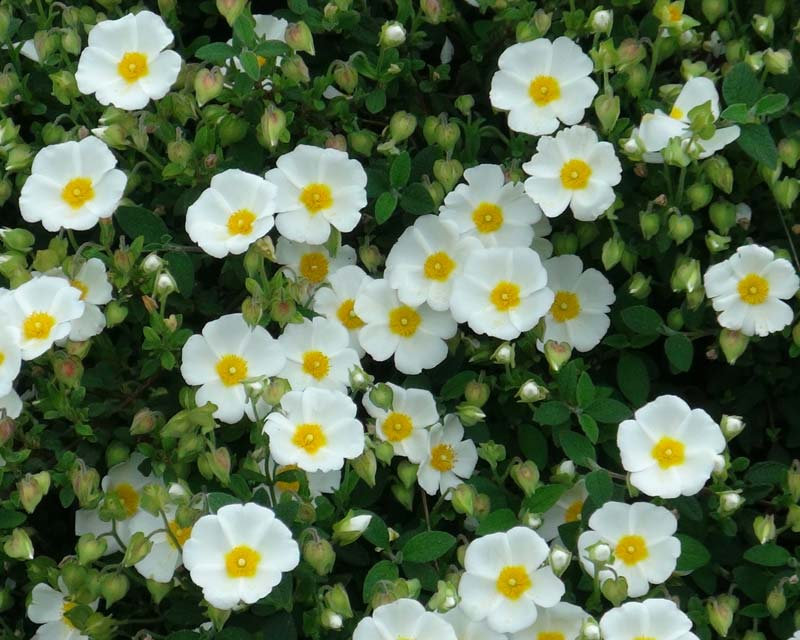 Picture of Live Sageleaf Rockrose aka Cistus salvifolius Plant Fit 5 Gallon Pot