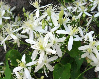 Gardensonline plant finder clematis terniflora syn cniculata masses of small star shaped white flowers group 3 photo mightylinksfo