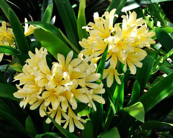 Clivia Miniata Yellow Gardensonline