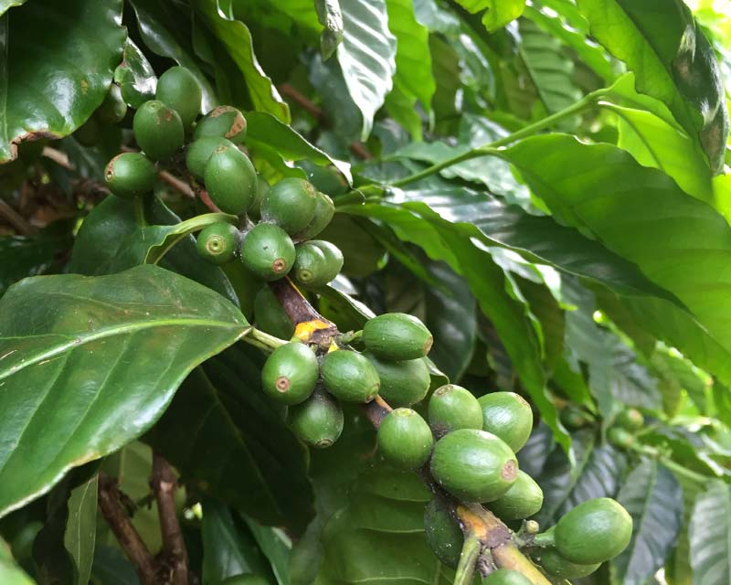 Coffea arabica - coffee beans are the seeds inside the fruit - the fruit turns red as it ripens