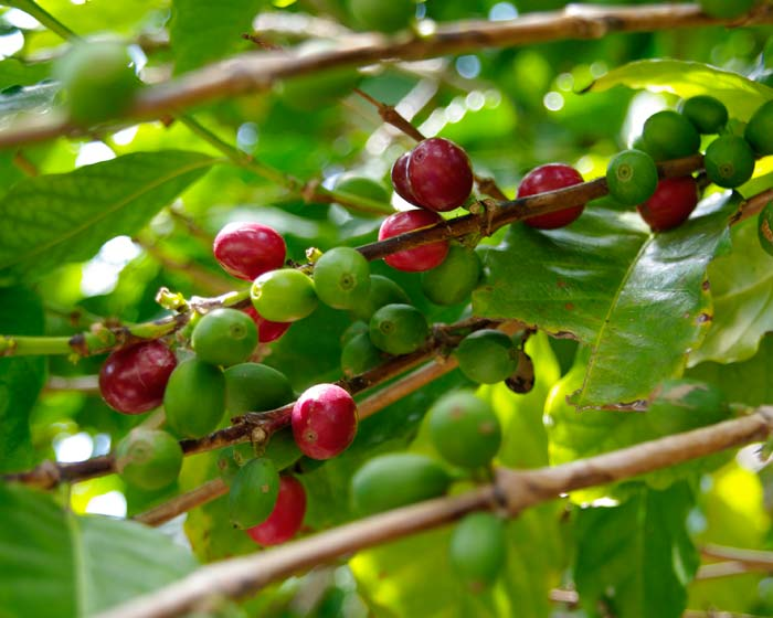 Coffea arabica - the fruit turns red as it ripens