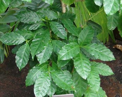 Coffea arabica, coffee plant foliage