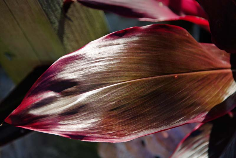 Leaf of Cordyline fruticosa