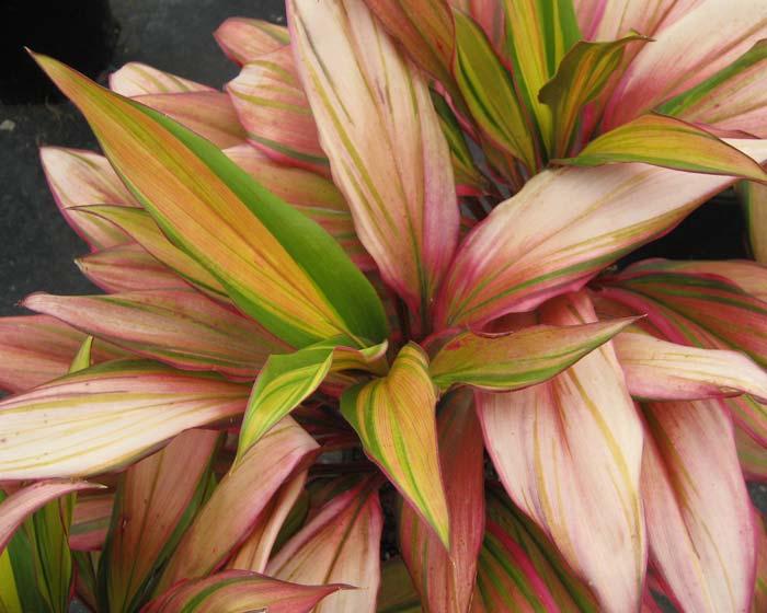 Cordyline fruticosa - this is Kiwi