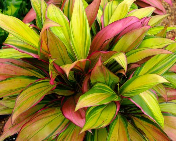 Gardensonline Cordyline Fruticosa