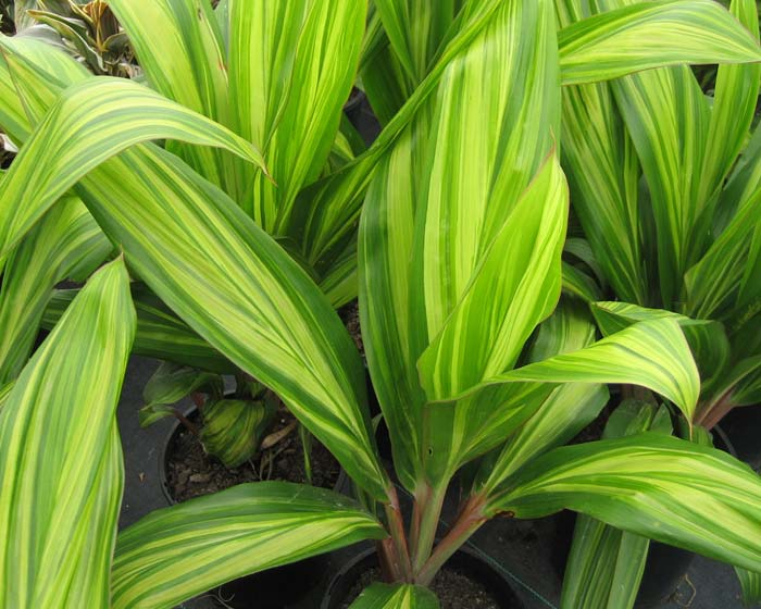 Cordyline fruticosa - this is Lemon and Lime