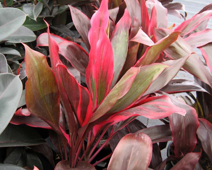 Cordyline fruticosa - this is Pink Cascade