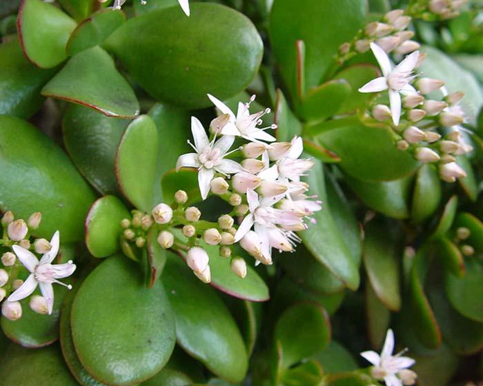 Gardensonline Crassula Ovata Syn Crassula Portulacea