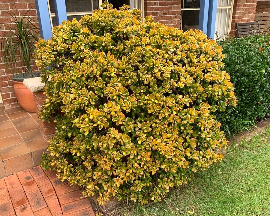 Crassula ovata, Jade Plant