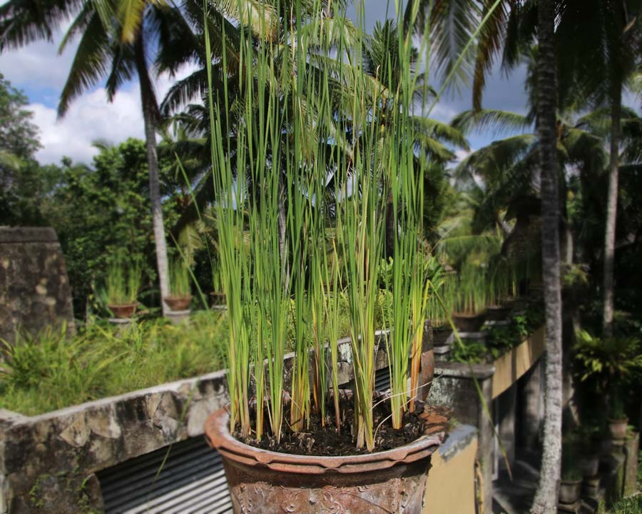 Cymbopogon citratus, Lemongrass growing in pot