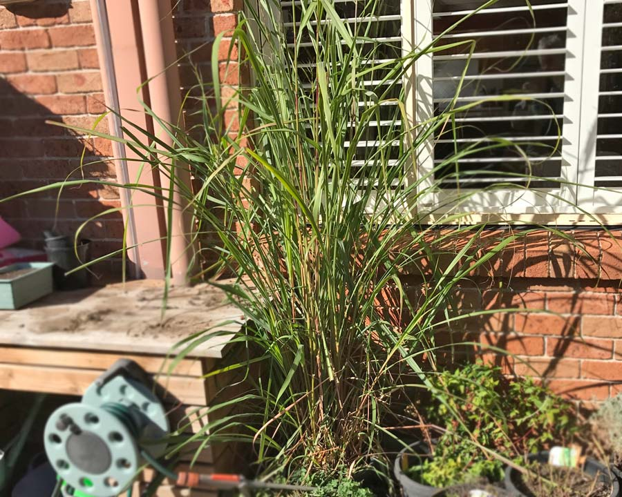 Cymbopogon citratus, Lemongrass grown is a pot