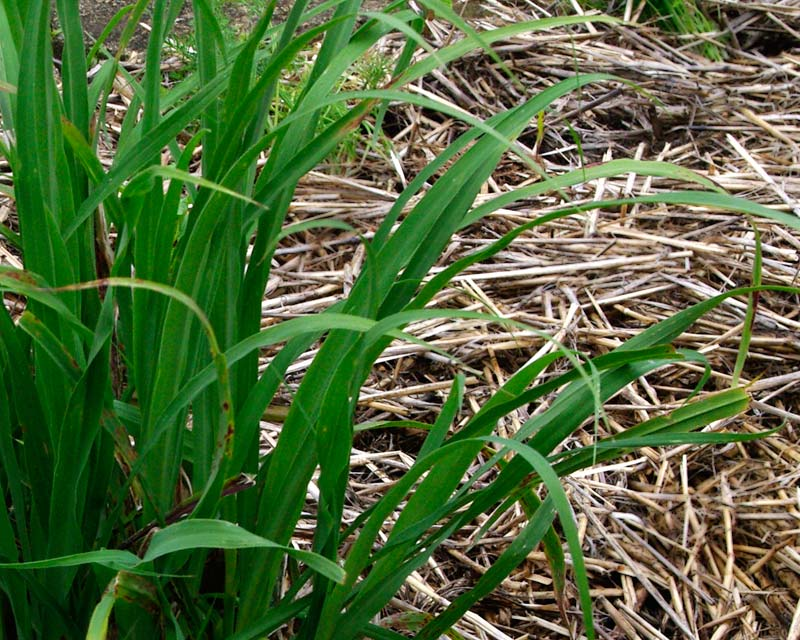 Lemongrass - Cymbopogon citratus - blade-like leaves grow in tufts