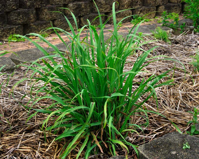 Cymbopogon citratus, lemongrass - tufted grass with lemon scented leaf sheathes used in cooking and medicines