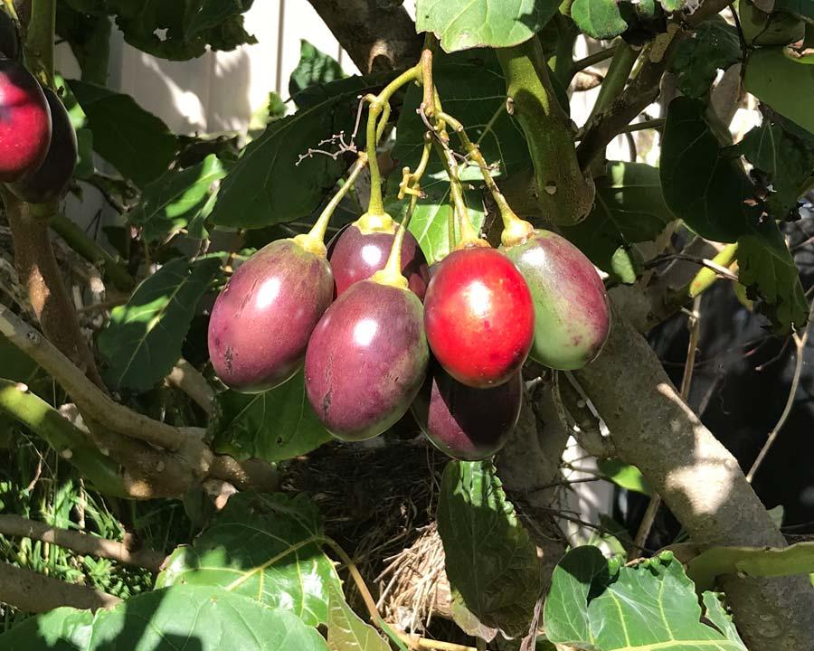Solanum betaceum Tamarilo