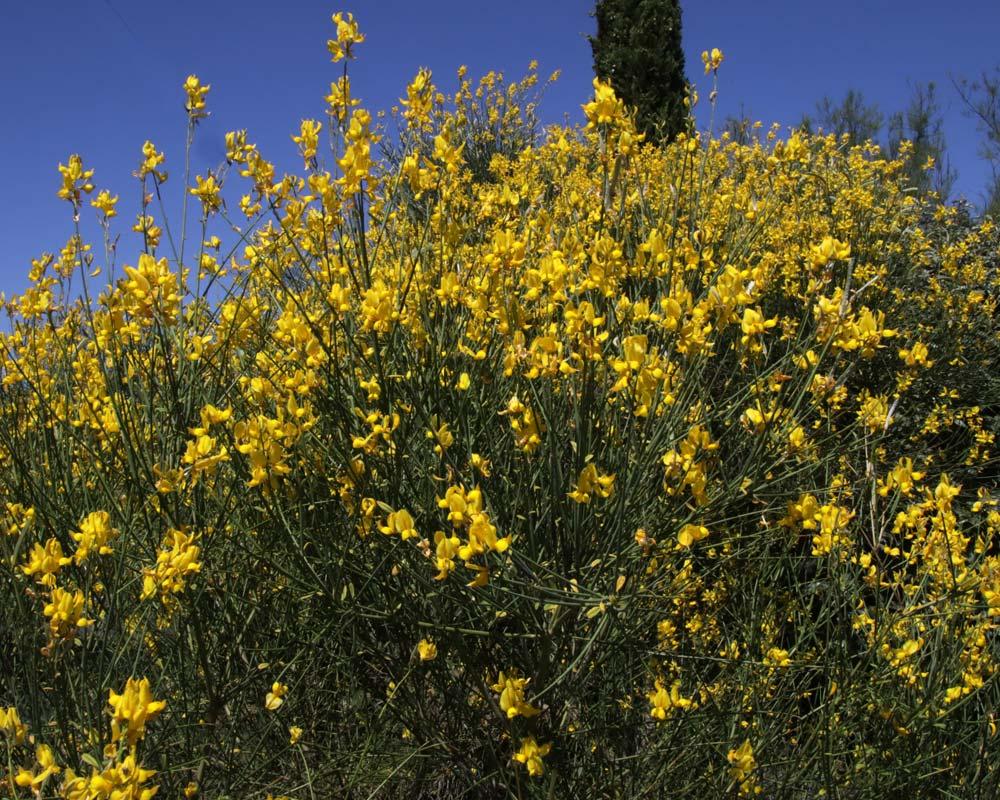 Cytisus scoparius, Broom