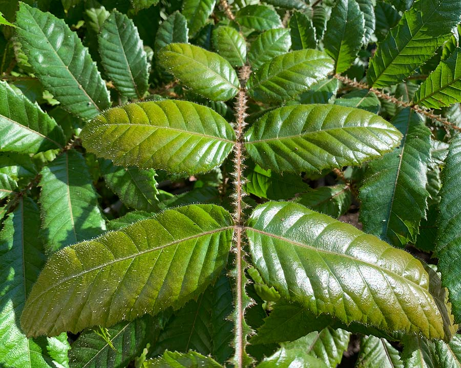 Large compound leaves covered in fine hairs - Davidson Plum, Davidsonia pruriens