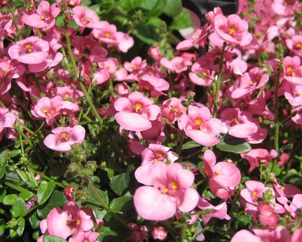 Gardensonline Diascia Barberae
