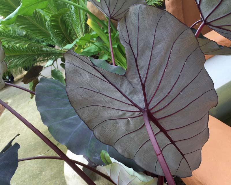 Colocasia esculenta 'Black Magic' has purple leaves with deep purple veins and stalks