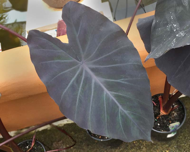 The large purple leaves of Colocasia Esculenta 'Black Magic'