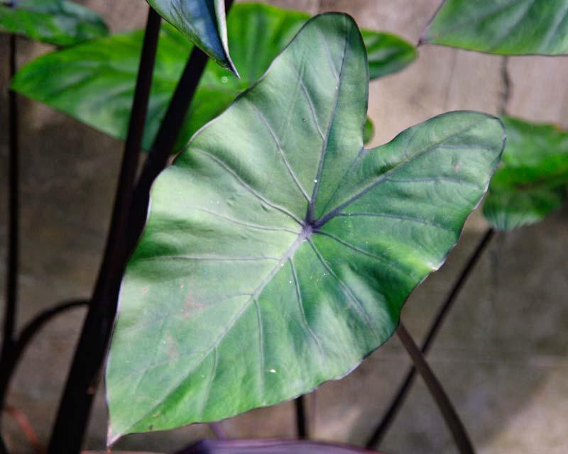 Gardensonline Colocasia Esculenta