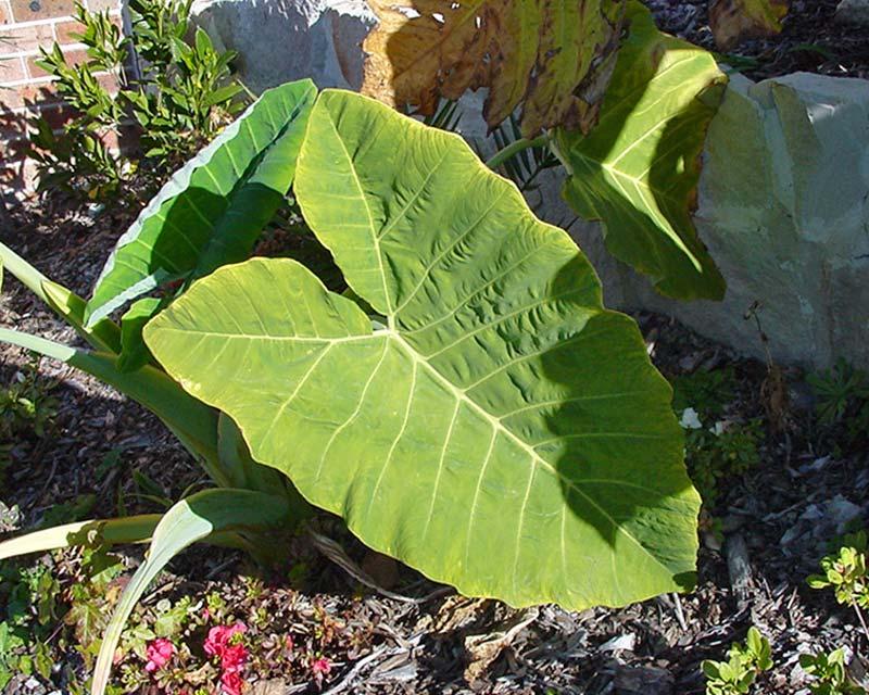 Taro Colocasia gigantea