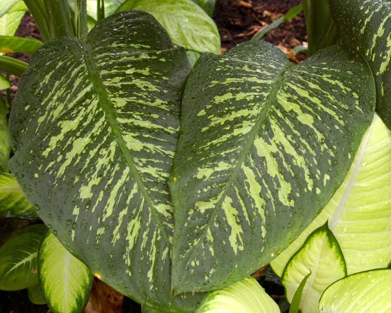 Gardensonline Dieffenbachia Seguine