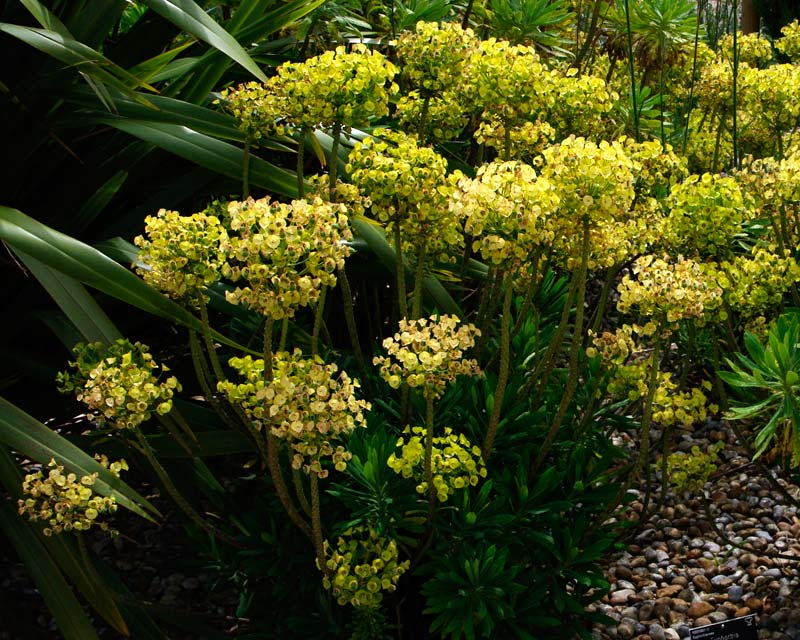 Euphorbia characias subsp Wulfenii Lambrook Gold - spherical flower heads of small flowers surrounded by yellow bracts