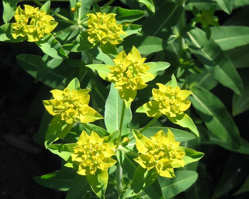 Gardensonline Euphorbia Schillingii