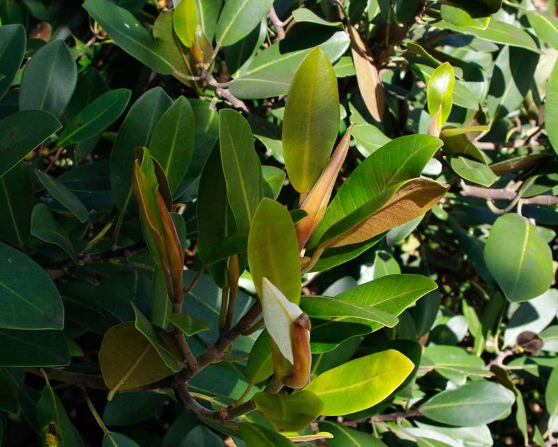 Gardensonline Ficus Rubiginosa