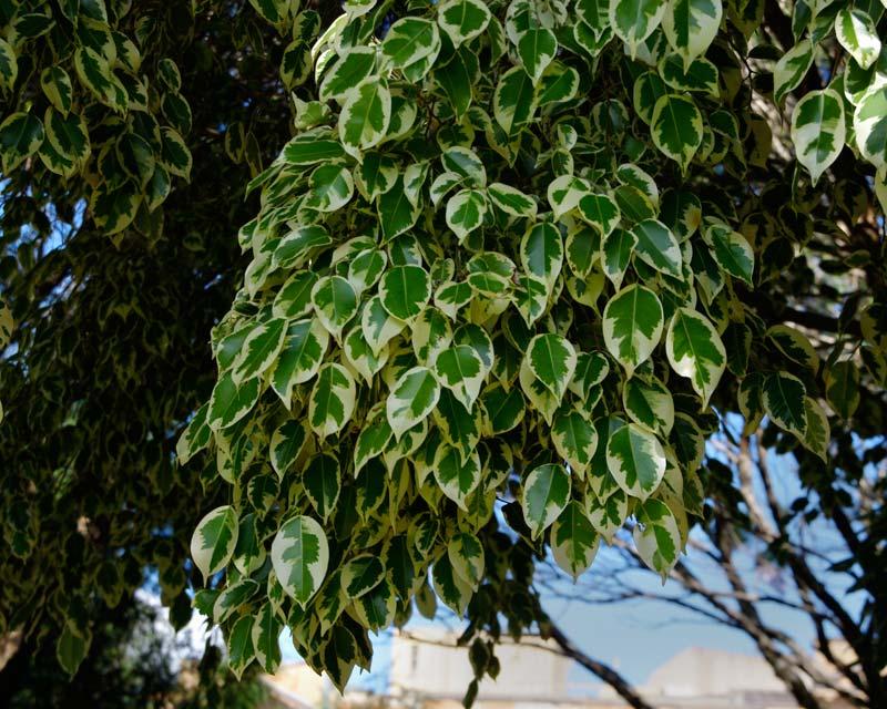 Gardensonline Ficus Benjamina Starlight