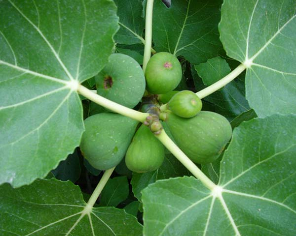 Ficus carica, the common fig