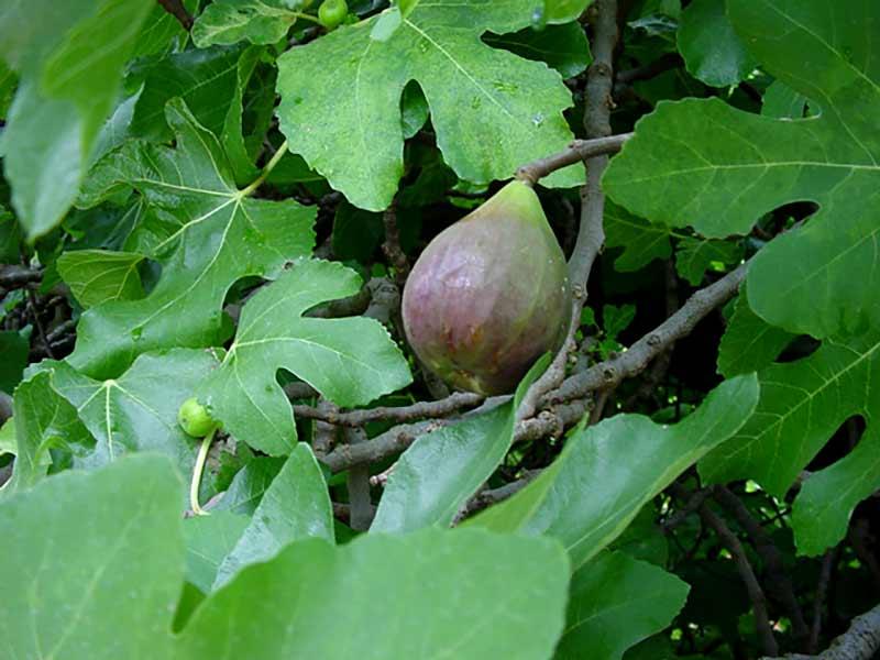 Common fig - ficus carica