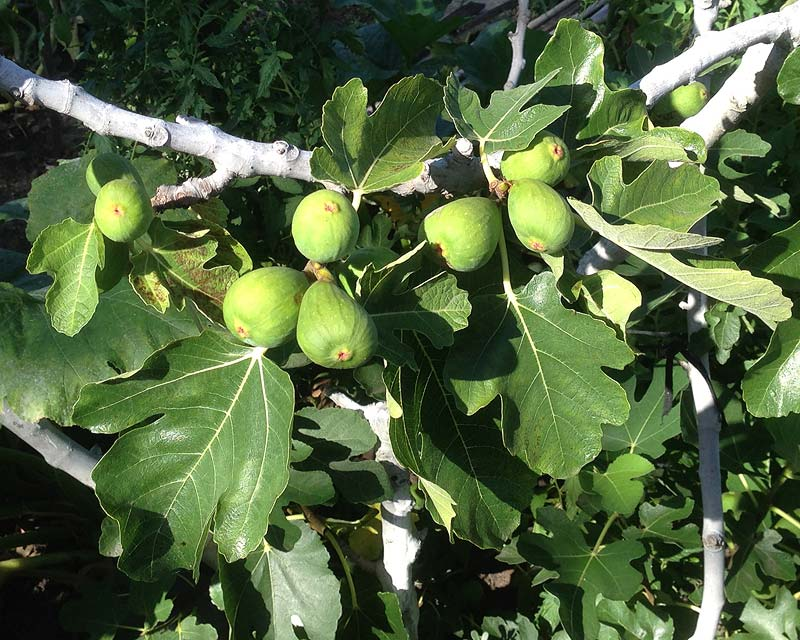 Ficus carica, green fig fruit