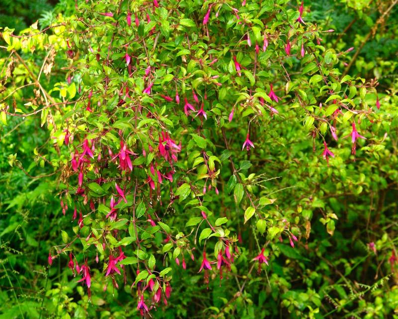 Hardy Fuchsia - Fuchsia magellanica