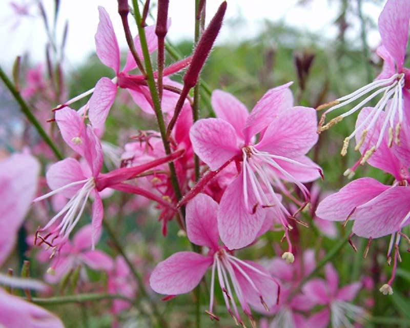 Gaura lindheimeri Siskiyou Pink, wonderfully delicate flowers.