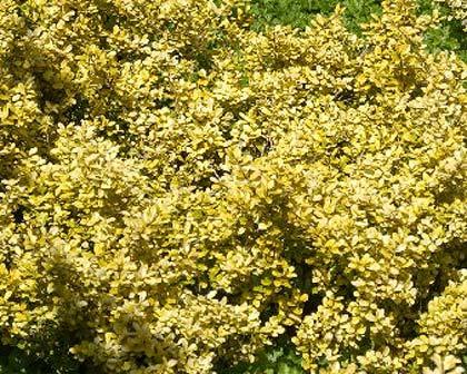 GardensOnline: Ilex crenata Golden Gem