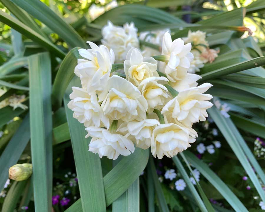 Narcissus Tazetta group - florists call them Jonquils