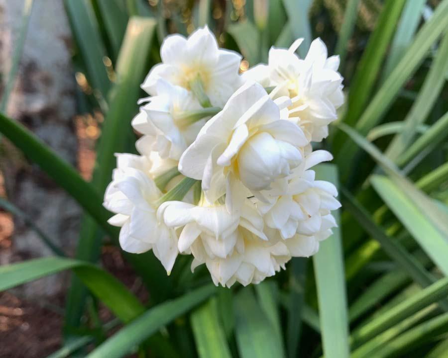 Narcissus tazetta group