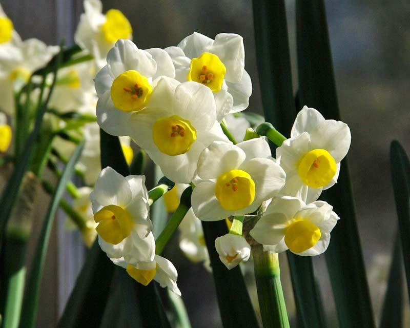 Narcissus Tazetta group - 'Avalanche'